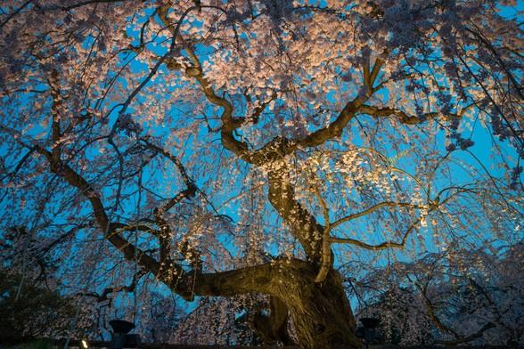 20150422午前の弘前公園A7R-64.jpg